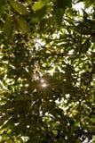 Rayons de Sun par des feuilles des arbres Photos libres de droits