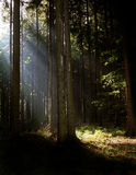 Rayons de Syn dans le bois Photographie stock libre de droits