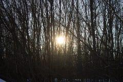 Rayons du coucher de soleil d'hiver par les arbres Photo stock