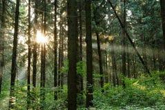 Rayons du soleil dans le foresn Images libres de droits