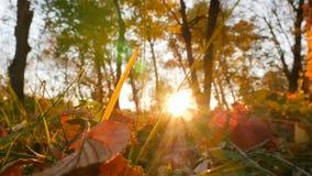 Rayons du soleil de forêt d'automne les beaux brillent dans la caméra Appareil-photo dans le mouvement clips vidéos