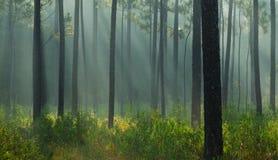 Rayons légers dans la forêt Photographie stock libre de droits