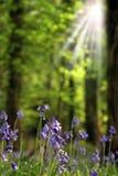 Rayons sur des bluebells Image libre de droits
