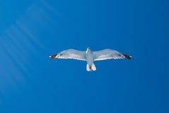 Rayos de la gaviota y del sol del vuelo Imagen de archivo libre de regalías