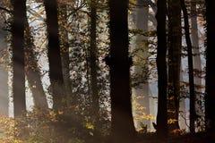 Rayos de la luz del sol que entran en un bosque Fotografía de archivo