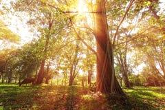Rayos de la parte posterior de la sol de árboles en bosque del parque Foto de archivo libre de regalías