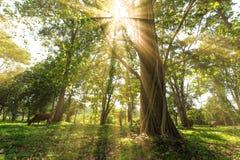 Rayos de la parte posterior de la sol de árboles en bosque del parque Imagen de archivo libre de regalías