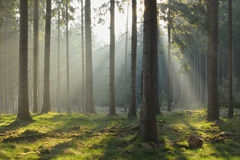 Rayos de sol en bosque Spruce Fotografía de archivo libre de regalías