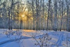 Rayos de sol de oro de la puesta del sol del invierno en el bosque nevoso del abedul Foto de archivo libre de regalías