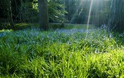 Rayos de sol que brillan en bluebells Imagen de archivo