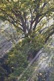 Rayos de sol a través de ramificaciones Imagen de archivo libre de regalías