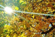 Rayos de sol a través de las hojas amarilleadas Imagen de archivo libre de regalías