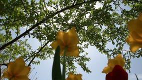 Rayos de sol a través de las hojas del árbol y de la flor del tulipán metrajes