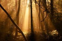 Rayos de Sun en bosque Imagen de archivo libre de regalías