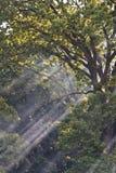 Rayos de Sun en bosque Imagen de archivo