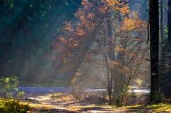 Rayos de Sun en bosque de niebla foto de archivo libre de regalías