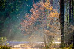 Rayos de Sun en bosque de niebla imagen de archivo libre de regalías