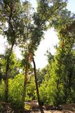 Rayos de Sun a través de ramas del eucalipto Fotografía de archivo libre de regalías