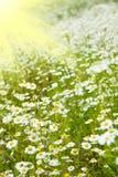 Rayos del campo y del sol de la manzanilla imagenes de archivo