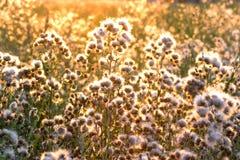 Rayos del sol de configuración en el cardo - burdock Fotografía de archivo libre de regalías