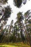 Rayos del sol en una hierba de Forest Green del pino y sol y pino fotografía de archivo libre de regalías