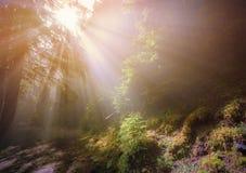 Rayos del sol a través de la niebla en bosque imagen de archivo