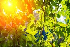 Rayos del sol a través de las hojas de uvas fotografía de archivo