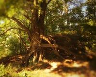 Rayos ligeros a través de árboles enredados Imagen de archivo libre de regalías