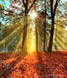 Rayos solares de la mañana en último bosque del otoño fotos de archivo