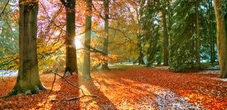 Rayos solares de la mañana en último bosque del otoño imagen de archivo