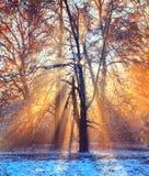 Rayos solares de la mañana en bosque del invierno imagenes de archivo