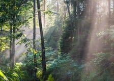 Rayos solares que cruzan el bosque brumoso Fotografía de archivo libre de regalías