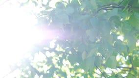 Rayos solares que enarbolan a través de las hojas frescas El sol de la madrugada sube a través de árboles en la salida del sol metrajes