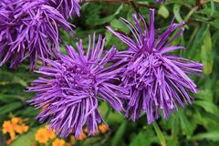 Rays Aster, Aster, Blossom, Bloom Royalty Free Stock Photos