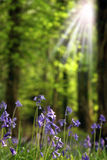 Rays on bluebells Royalty Free Stock Image