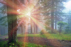 Rays in the Carpathian forest Royalty Free Stock Images