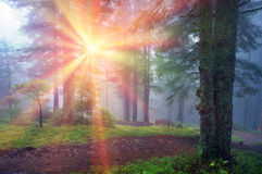 Rays in the Carpathian forest Royalty Free Stock Photography