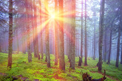 Rays in the Carpathian forest Royalty Free Stock Photo