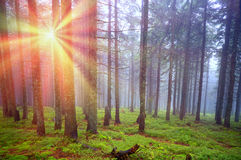 Rays in the Carpathian forest Stock Photos