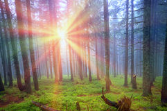 Rays in the Carpathian forest Stock Photography