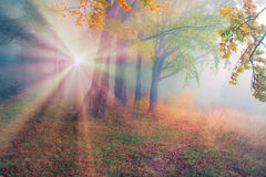 Rays in the Carpathian forest Stock Image