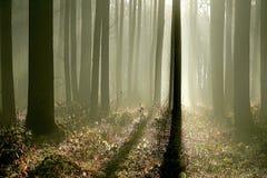rays den dimmiga morgonen för den tidiga skogen sunen Arkivfoton