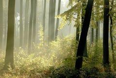 rays den dimmiga morgonen för den tidiga skogen sunen Arkivfoto