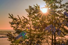 The rays of the evening sun through the pine tree in the winter, blurred background, Royalty Free Stock Image