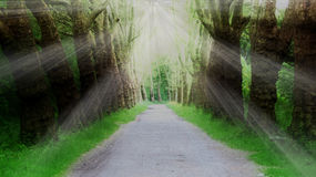 Rays in Forest Path. Peaceful forest path through two lines of old trees Royalty Free Stock Images