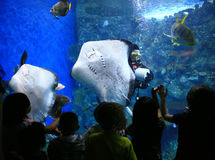 Rays in a Giant Aquarium With Children Watching Stock Image