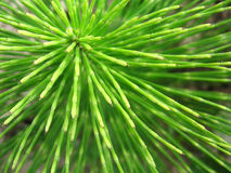 Rays of life. Equisetum top view Royalty Free Stock Photography
