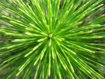 Rays of life. Equisetum top view Royalty Free Stock Images