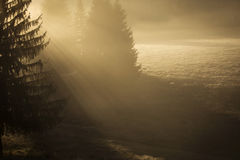 Rays of light cross the fir in fog atmosphere Royalty Free Stock Images
