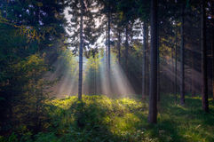 Rays of light in a dark forest Royalty Free Stock Photos